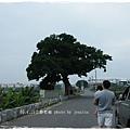 三春老樹 (51)