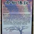 三春老樹 (5)