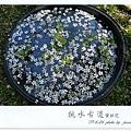 徐妹1Y10M挑水賞桐(7)
