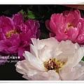 2009南投花卉嘉年華 (35)