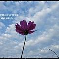 草屯碧山路花海 (25)