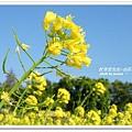 油菜花田 (14)