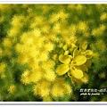 油菜花田 (9)