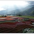 台東 關山花海928 (73)
