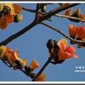 三月木棉花開 1 (46)
