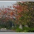 三月木棉花開 1 (26)