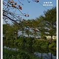 三月木棉花開 1 (23)