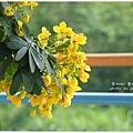 黃槐花 (12)