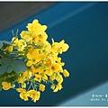 黃槐花 (13)