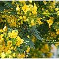 黃槐花 (17)