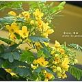 黃槐花 (14)