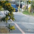 黃槐花 (25)