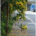 黃槐花 (28)