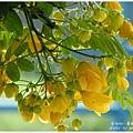 黃槐花 (7)