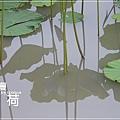 中興新村賞荷趣 (47)