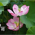 中興新村賞荷趣 (43)