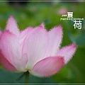 中興新村賞荷趣 (52)
