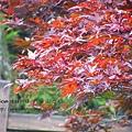 太平山莊紫葉戚 (9)
