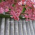 太平山莊紫葉戚 (61)