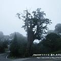 白嶺巨木 (148)