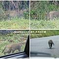 翠峰湖遇見台灣獼猴 (2)