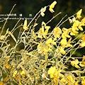 溪州 欒樹 鍋物 (52)