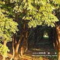 溪州 欒樹 鍋物 (54)