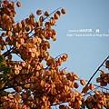 溪州 欒樹 鍋物 (77)
