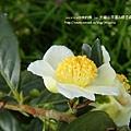 大崙山茶園&銀杏森林 (80)