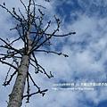 大崙山茶園&銀杏森林 (110)