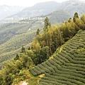 大崙山茶園&銀杏森林 (117)