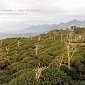大崙山茶園&銀杏森林 (146)