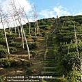 大崙山茶園&銀杏森林 (155)