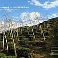 大崙山茶園&銀杏森林 (160)