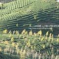 大崙山茶園&銀杏森林 (164)