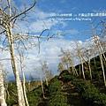 大崙山茶園&銀杏森林 (161)