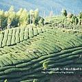 大崙山茶園&銀杏森林 (167)