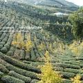 大崙山茶園&銀杏森林 (173)
