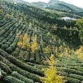 大崙山茶園&銀杏森林 (178)