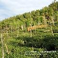 大崙山茶園&銀杏森林 (181)