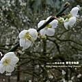 信義賞梅趣羅娜村秘境 121 (2)