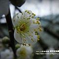 信義賞梅趣羅娜村秘境 121 (65)