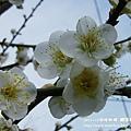 信義賞梅趣 羅娜村057 (4)