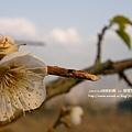 元旦 柳家梅園 (170)