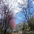 武陵賞櫻花 收費站--03