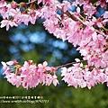 武陵賞櫻花 醫療站遊客中心前 (25)