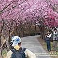 武陵賞櫻花 醫療站遊客中心前 (60)