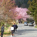 武陵賞櫻花 醫療站遊客中心前 (64)