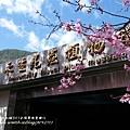 武陵賞櫻花 醫療站遊客中心前 (119)