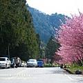 武陵賞櫻花 醫療站遊客中心前 (145)